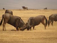 TZ-Ngorongoro-gnu