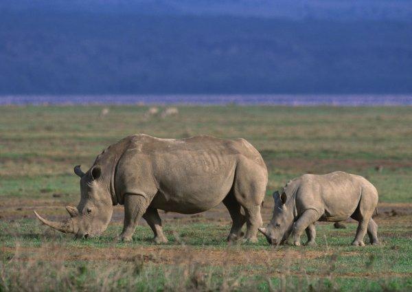 TZ-Ngorongoro rhino