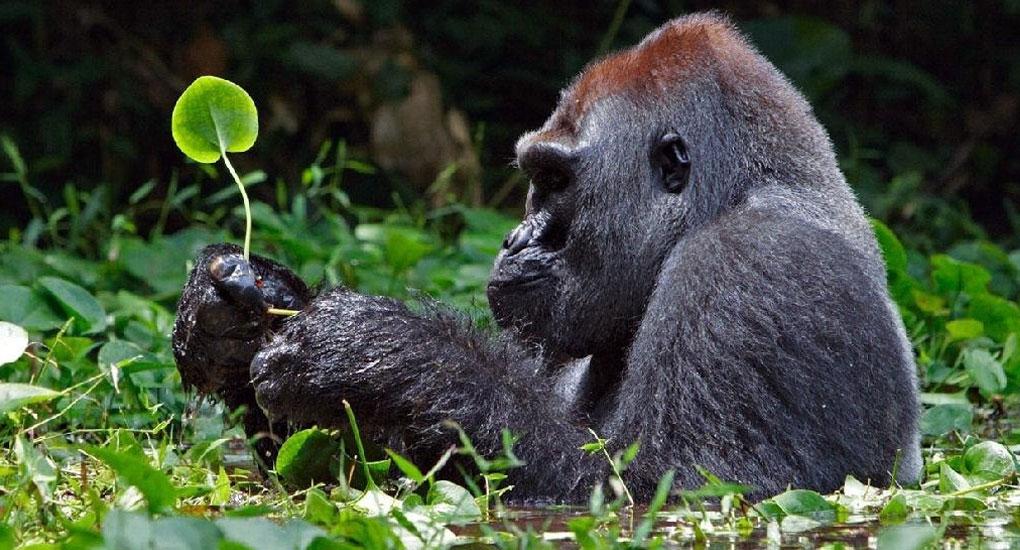 Gorillas-in-Bwindi-Mgahinga2