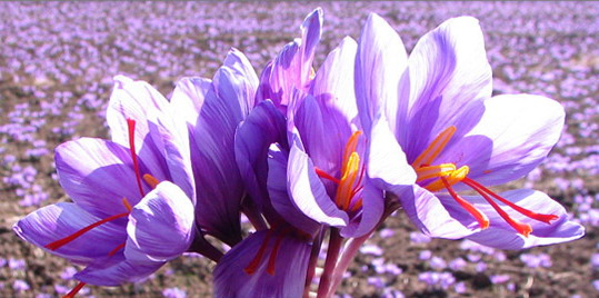SaffronFlower