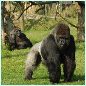 gorilla-in-ugandaBwindi-mgahinga-forest