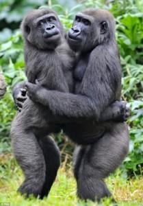 gorilla2-209x3001111