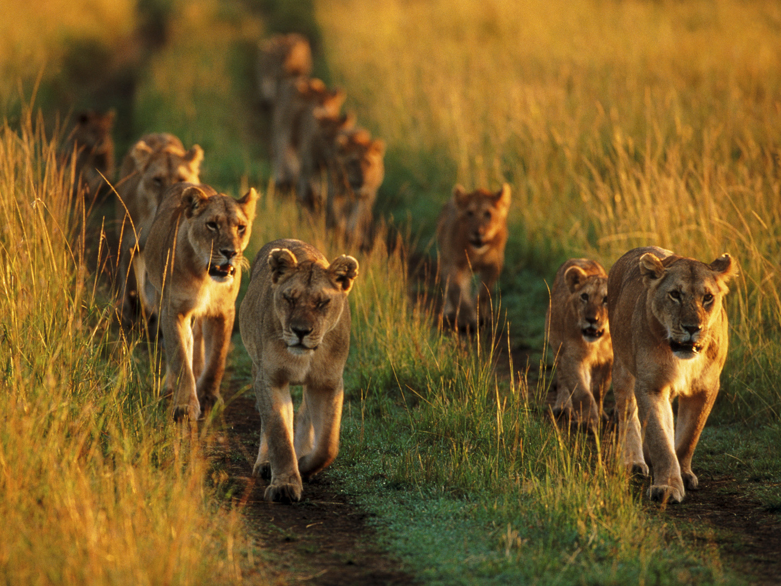 pride_of_lions__masai_mara_national_reserve__kenya